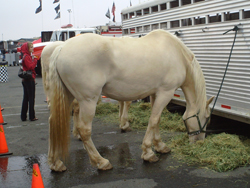 Horses at Infineon Raceway